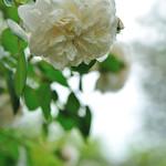 Rose  'Sombreuil'