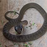 Herald Snake - Crotaphopeltis hotamboeia 1d