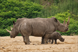 Mother and aunt give baby rhino protection | by Foto Martien