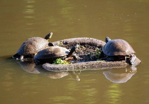 Three Turtles on a floating island | by Mike's Birds