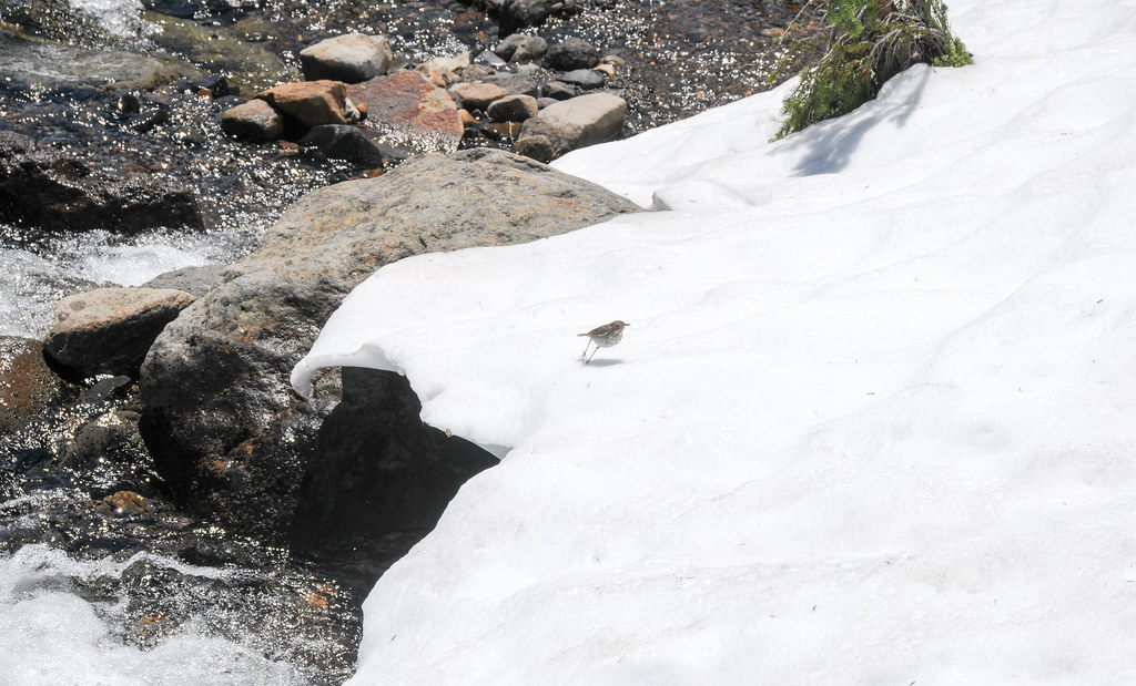 Hermit Thrush of the snow