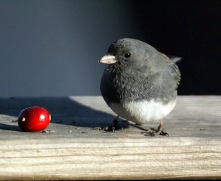 Dark-eyed Junco | by Mike's Birds