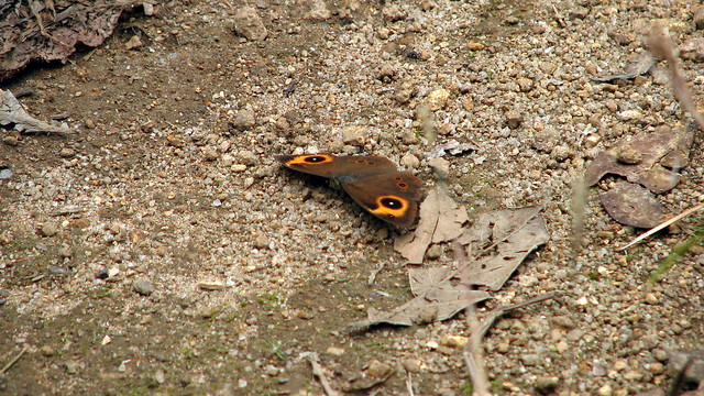 Red Disc Bush Brown Butterfly