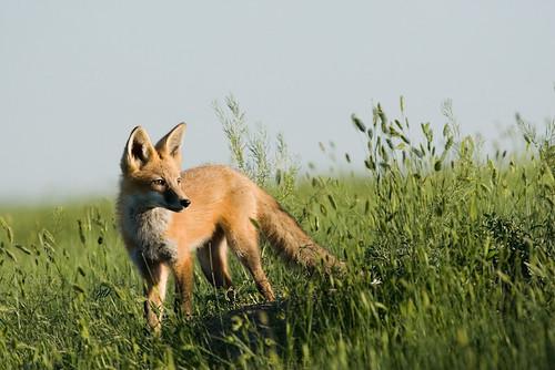 Red Fox #1