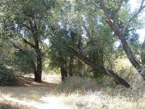 Oaks near Campo Creek