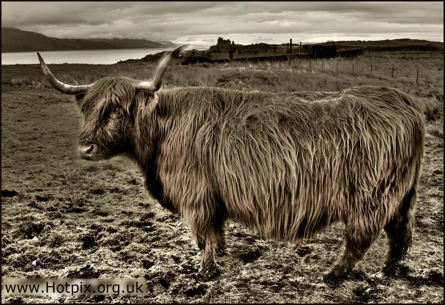 cow,highland,cattle,mull,isle,inner,islands,scotland,UK,ferry cow,ferry,calmac,calledonian,macbrayne,hair,hairy,hotpix,hotpixuk,tonysmith,tony,smith,scot,scottish,heritage,fild,farm,agriculture,HDR,narrative,edinbrugh,#tonysmithhotpix
