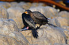 Crowned Cormorant  (Phalacrocorax coronatus)  by Ian N. White