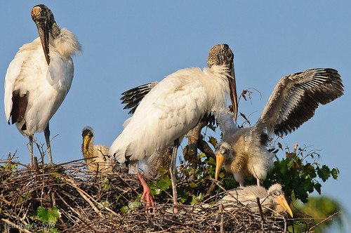 Wood Storks and chicks on nests | by Ed Rosack