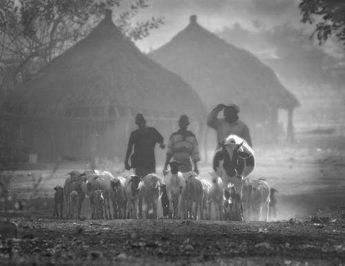 Jul/2008 - In Muchamba Village, in Tete Province, Mozambique, livestock are herded to pasture in the early morning (photo credit: ILRI/Mann).
