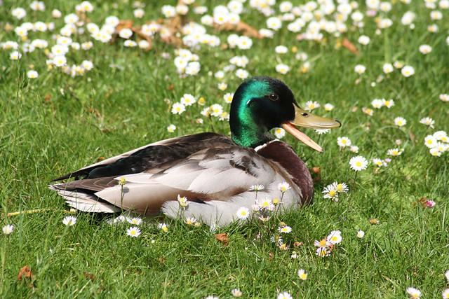 Canard col vert, jardins de Bagatelle