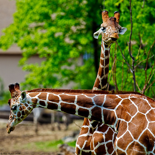 animals zoo wildlife giraffe peoria 2010 peoriazoo
