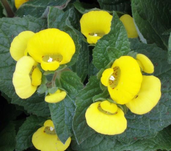 Calceolaria integrifolia 4692894940_5d70a58064_o