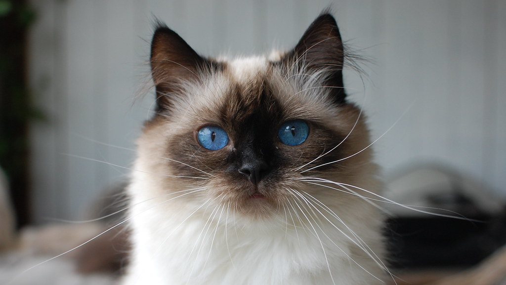 Textbook Face | The TICA Ragdoll Standard states: Shape ...