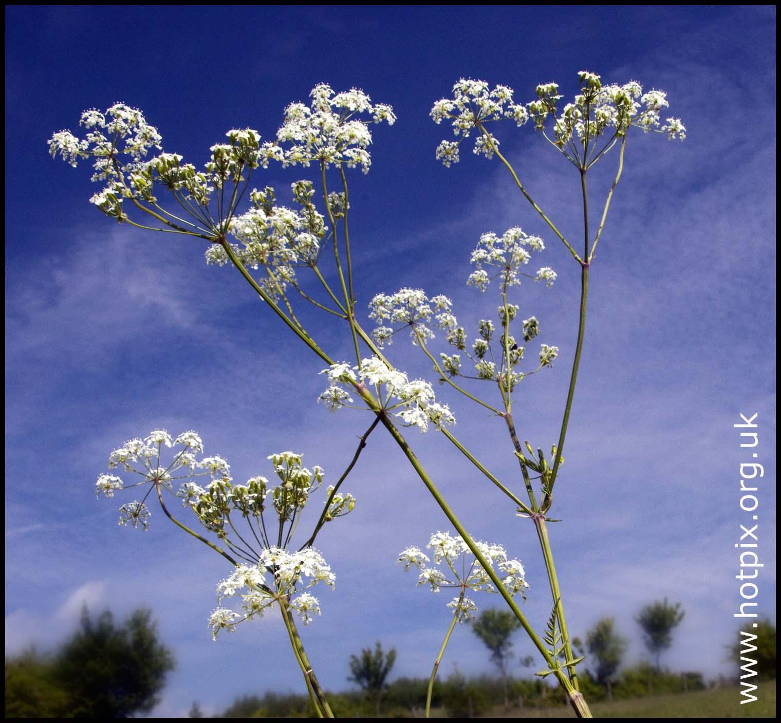 Wild,flower,flowers,nature,white,blue,weed,sky,england,britain,uk,GB,hotpix!