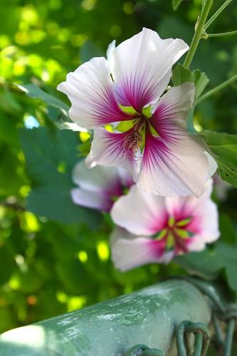 Hibiscus? | by joeysplanting