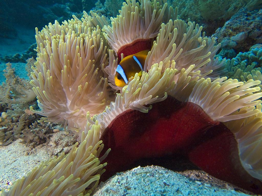 Pesce Pagliaccio E Anemone.Pesce Pagliaccio E Anemone Magnifico Sharm El Sheikh 2010 Flickr