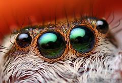 Anterior Median Eyes of an Adult Female Paraphidippus aurantius | by Thomas Shahan