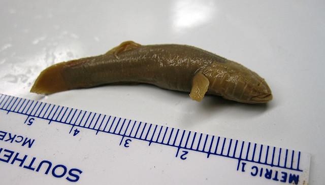 Typhlichthys subterraneus, Specimen of TTU Biology Department