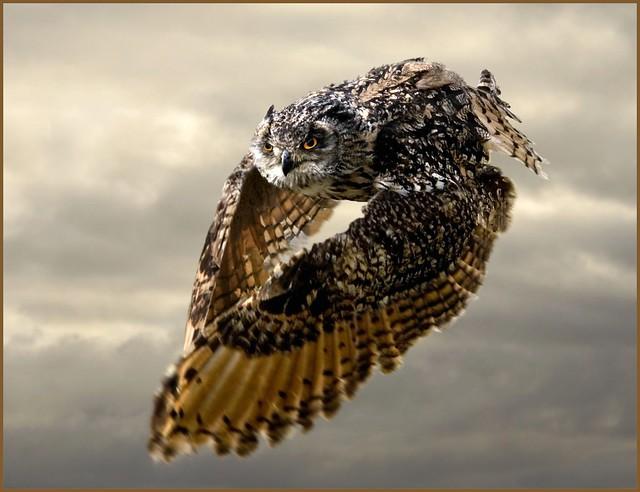Bengal eagle owl in flight - bubo bubo