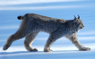 Lynx Canadensis | by kdee64