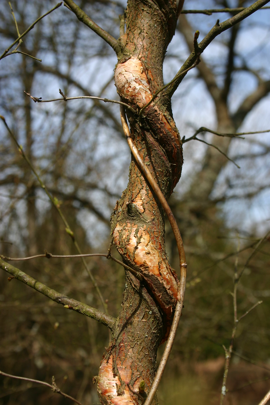 Twisty Tree