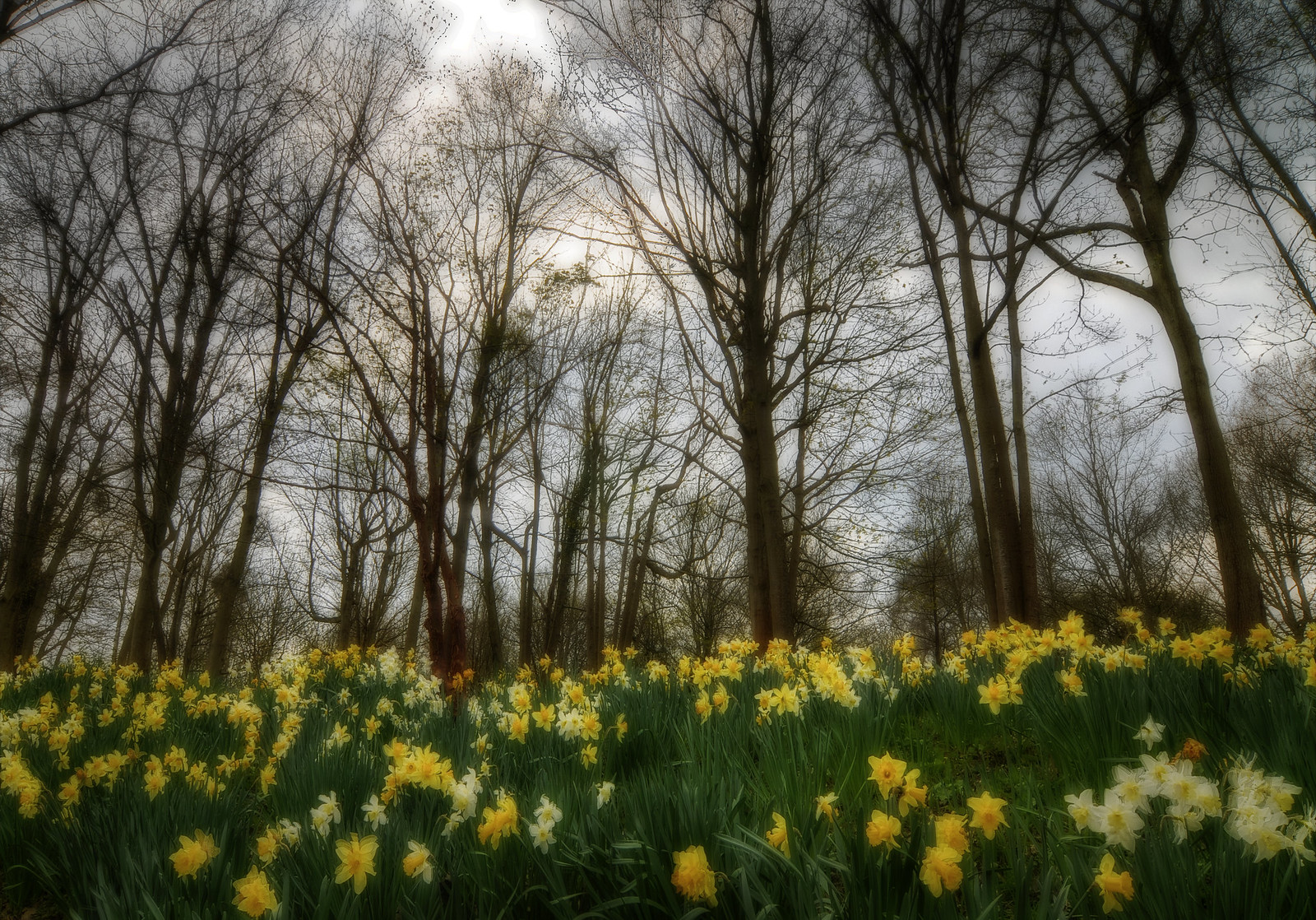 Moody The clouds were coming in a bit so I went for this shot of a bank of daffodils under a leaf-less tree canopy. Taken in the grounds of Chiddingstone Castle in Kent, England.