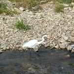 高野川の生き物