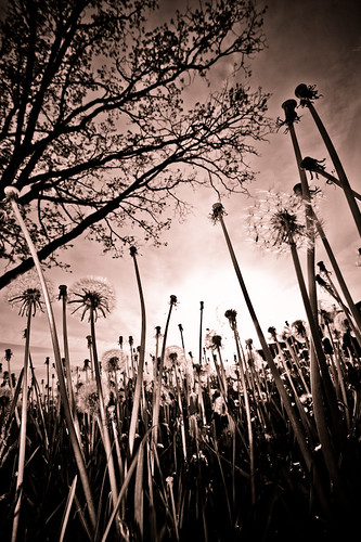 sunset sepia weeds weed royaloak
