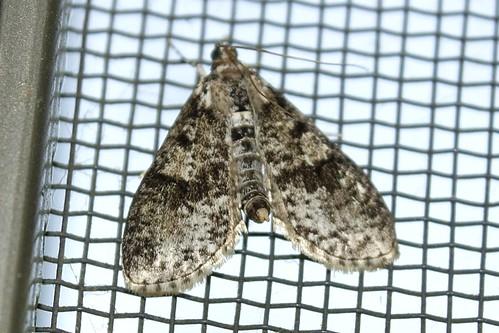 moth palpitamagniferalis splendidpalpita