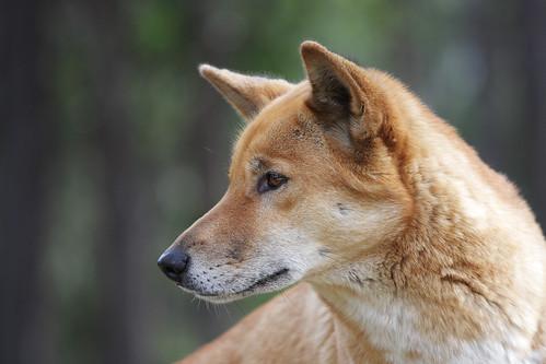 Dingo   by 0ystercatcher
