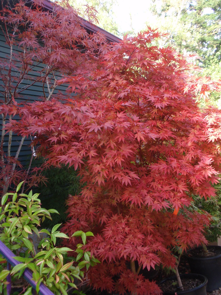 Acer Palmatum Pixie You Can See This Japanese Maple Tree Flickr