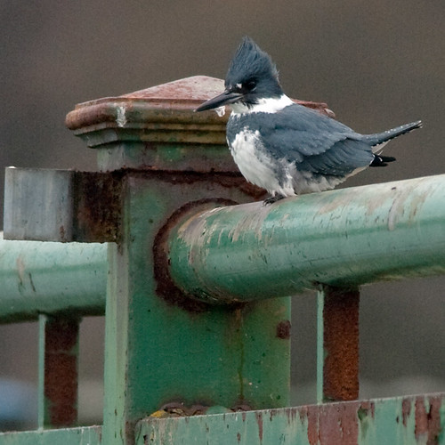 Belted Kingfisher | by mnlamberson