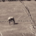 Sage Brush and Barbed Wire