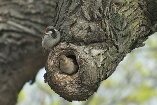 Sparrow Family | by critelli