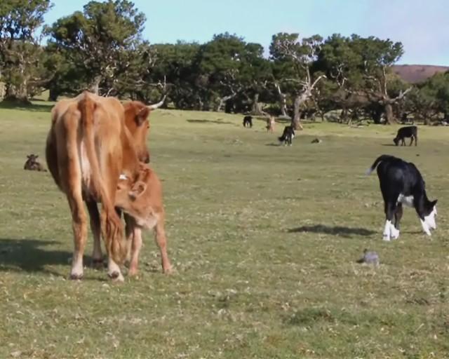 Cazadora de Vacas