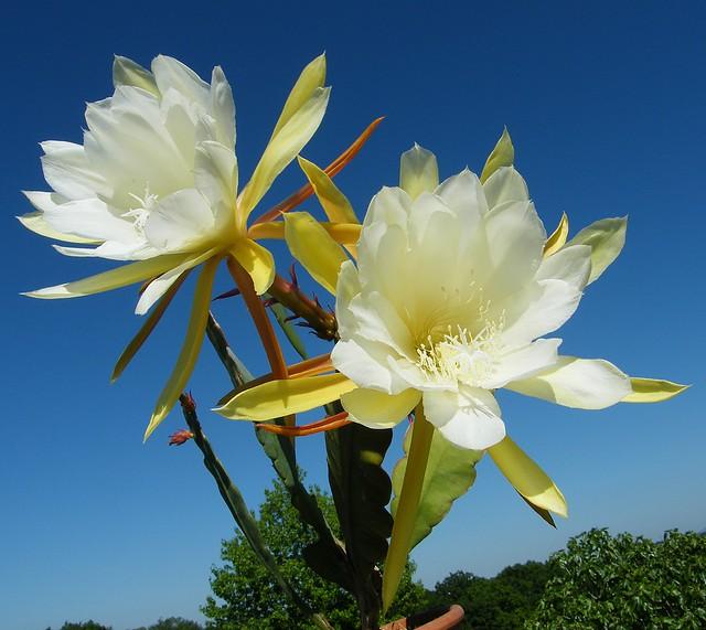 Epiphyllum 'Hasto'