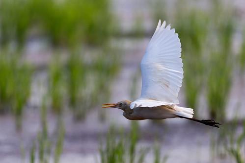 india birds canon prime kerala wetlands kol shahin 500mm thrissur cattleegret 2015 limelite birdsofkerala 500mmf4l olakara shahinolakaracom