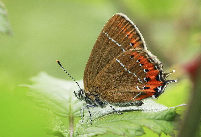 Butterfly - Black Hairstreak
