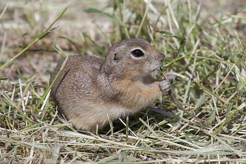 animal rodent squirrel european europeangroundsquirrel europeansouslik canoneos5dmarkii spermophiliuscitellus
