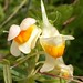 Flickr photo 'Common Toadflax, Linaria vulgaris' by: Jamie McMillan.