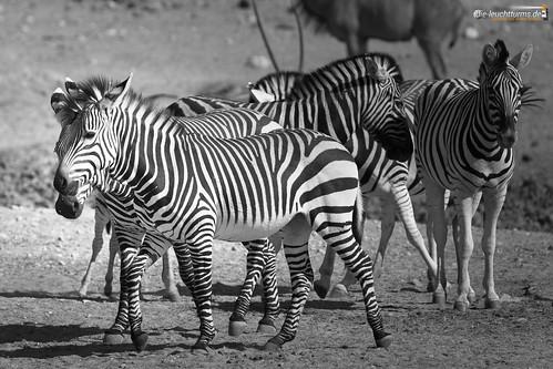 3x2 africa afrika bergzebra equidae equuszebra equuszebrahartmannae etoshanationalpark hartmannbergzebra namibia perissodactyla pferde säugetiere unpaarhufer vertebrata vertebrates wirbeltiere mammals monochrome mountainzebra omusatiregion renostervlei