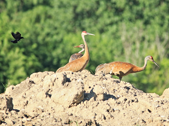 Sandhill Crane adults and colt 20170702