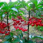 Red Winter:珊瑚莓