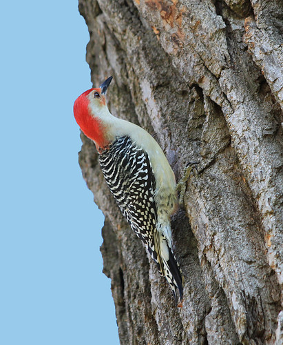 Red-bellied Woodpecker | by Wild Chroma
