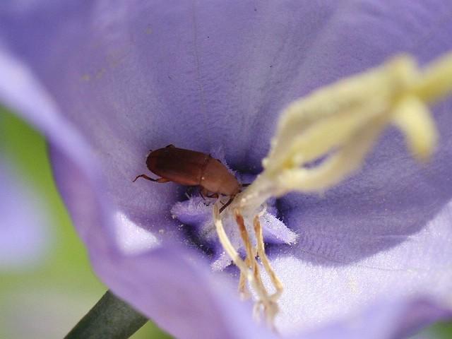 Antherophagus nigricornis - Schwarzhörniger Schimmelfresser, NGID1117216636