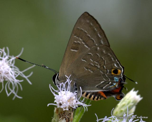 CORNELIAN Deudorix epijarbas, North Andaman, Andaman & Nicobar Islands, India.