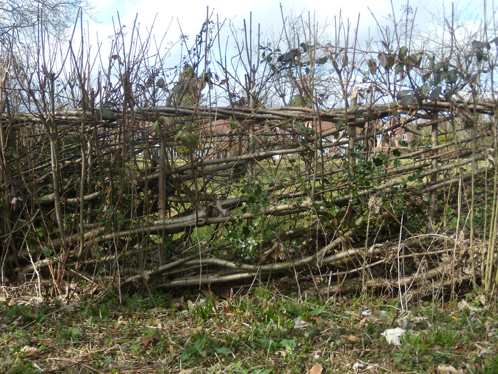 Laid hedge Henley to Pangbourne