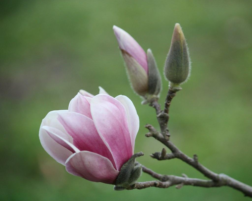 Light Pink Japanese Magnolia Tulip Tree Bloom 3 18 1 Flickr