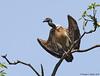 Slender Billed Vulture-A critically endangered species by Pranjadib