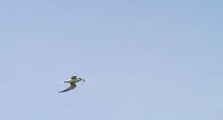Royal Tern | by zackojones